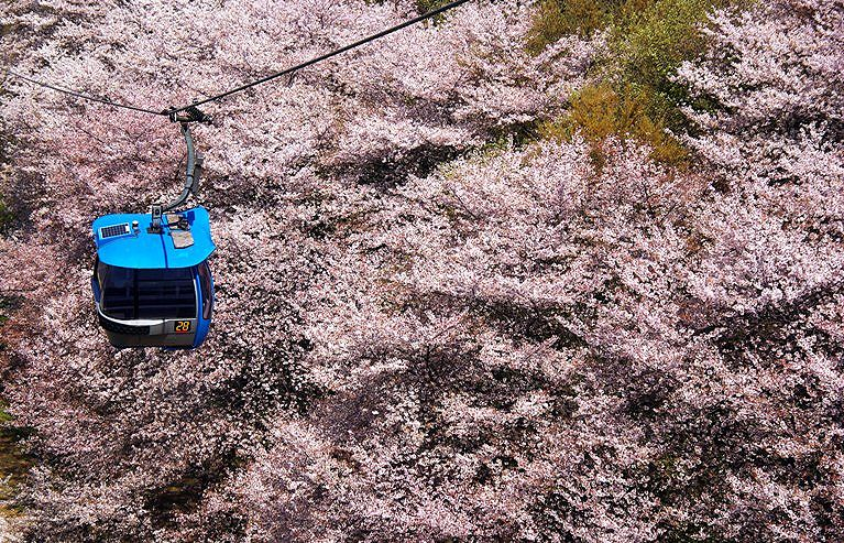 Yomiuri sakuraumi z